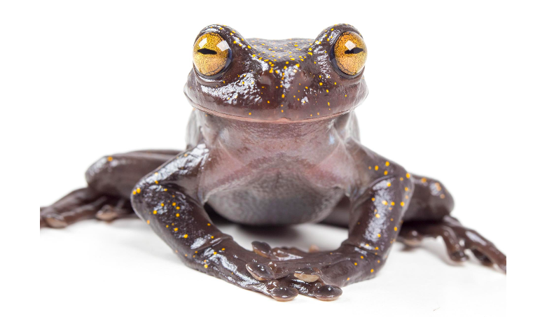 A Wolverine-like Tree Frog Is Discovered in the Andes