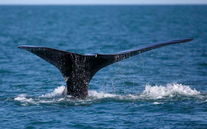 Right Whales Get Right of Way