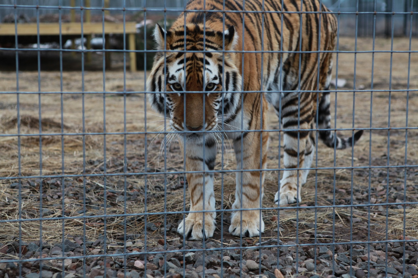 "Ending the ""pet"" trade for big cats will save lives"