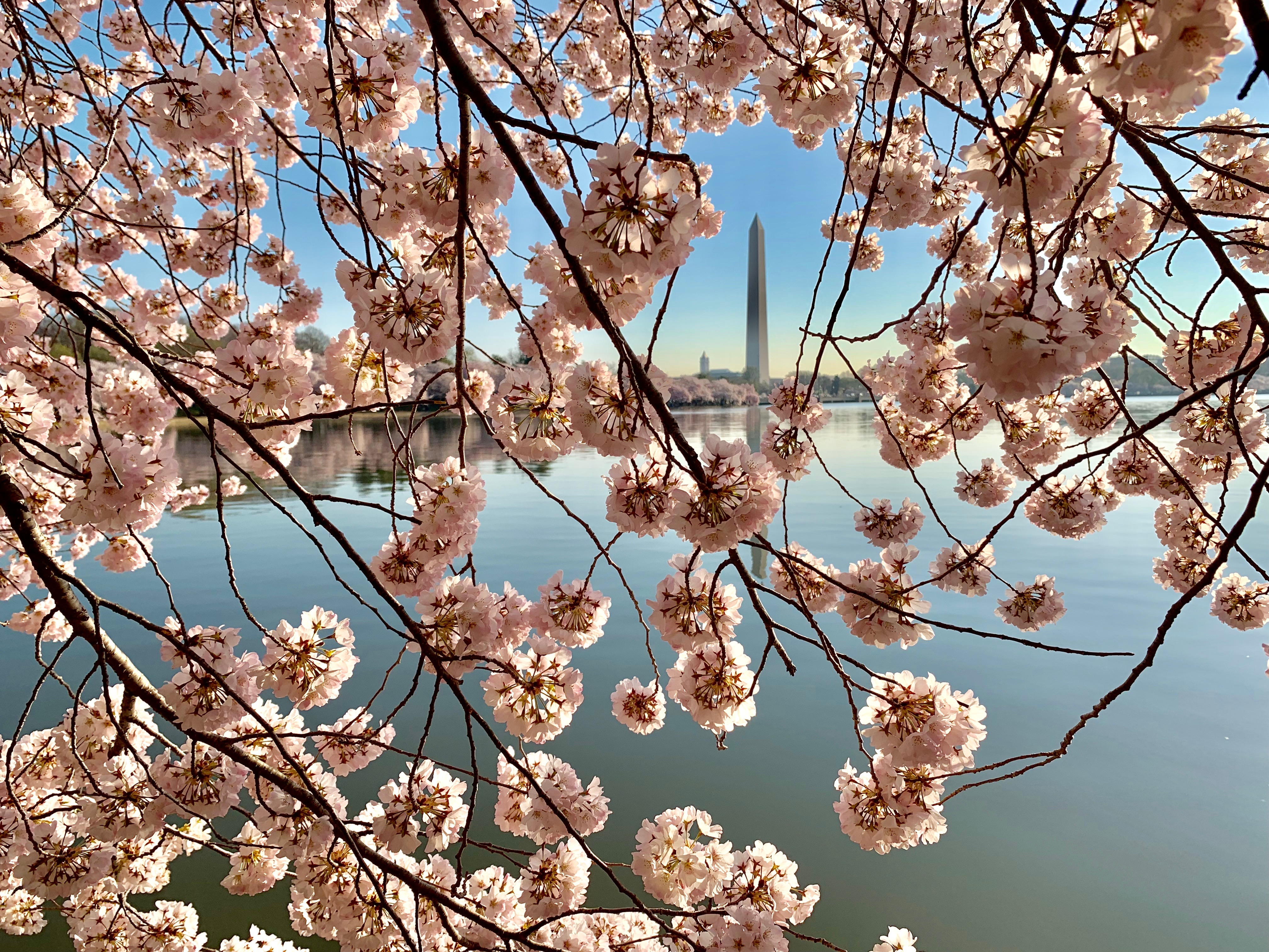 Climate change altering peak bloom of DC's cherry trees