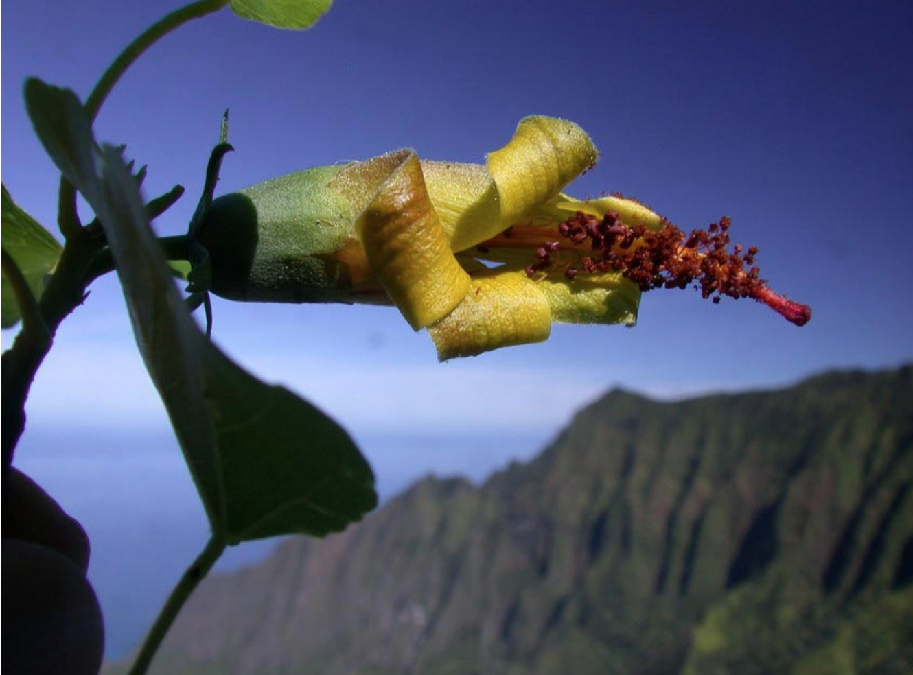 Drone Technology Helps Rediscover Extinct Hawaiian Hibiscus