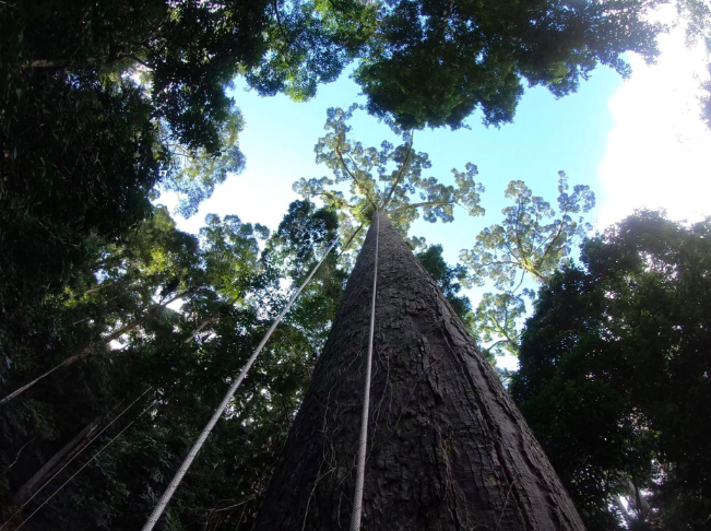 One Tall Thing:  Tallest Tropical Tree Found In Borneo