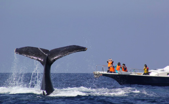 Whale Watching On the Rise in Japan and Iceland