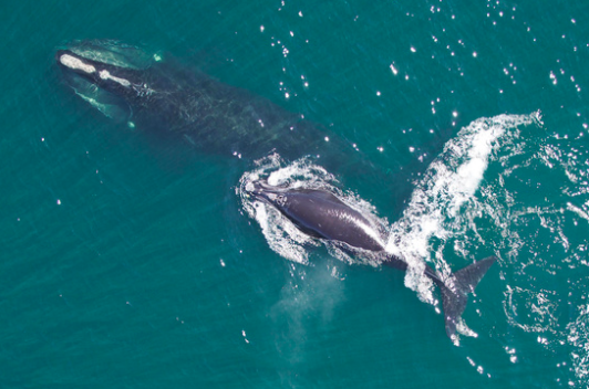 New US-Canada Study Shows Right Whale Deaths Overwhelmingly Caused by Humans