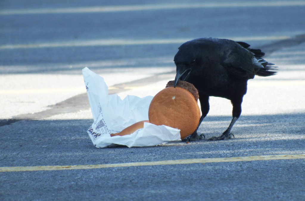 One Bird Thing: Fast Food Causes High Cholesterol in Crows