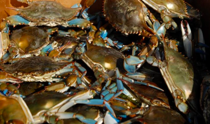 Blue Crabs in Chesapeake Benefitting From Climate Change