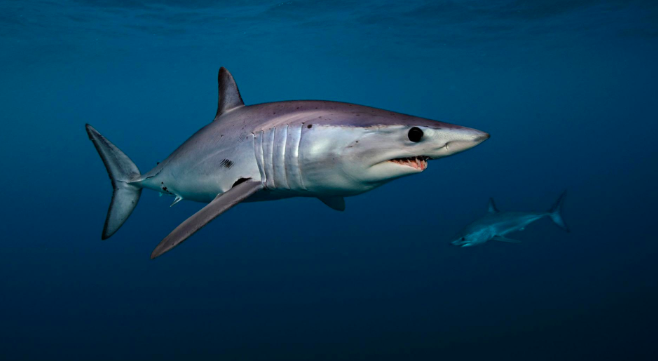 Breakthroughs in Global Protection From Trade for Mako Sharks and Giraffes