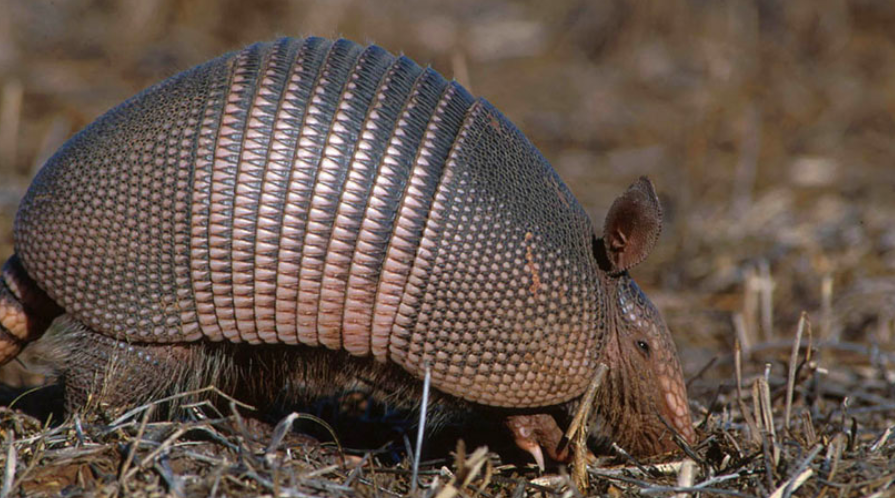 East Coast Armadillo Invasion
