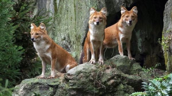One Wild Dog Thing:  A Trio of Dholes Debuts at the Bronx Zoo