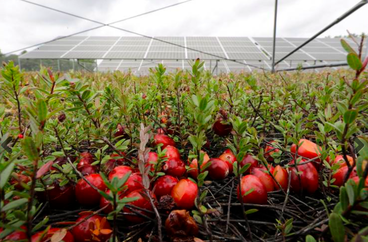 Cranberry Farmers in Massachusetts Giving Thanks for Solar Opportunity