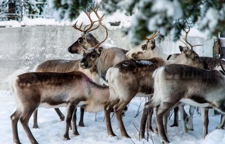 Ho Ho No: Ice on Top of Snow — Bad for Humans and Reindeer Too