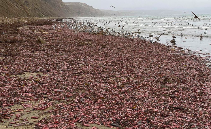 "One Weird Thing:  Thousands of ""Penis Fish"" Stranded on CA Beach"