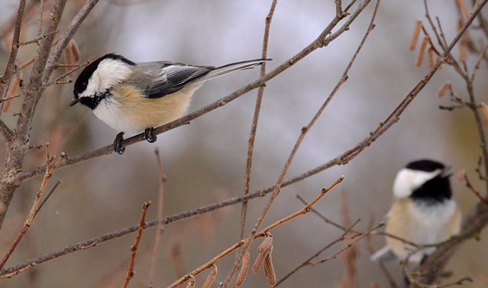 Birds Survive Cold Winters By Adding a Feather Jacket