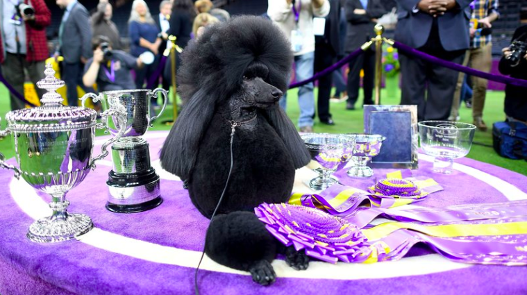 one pooch thing  the best dog at westminster is siba the