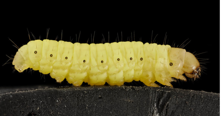 One Hungry Thing: The Greater Wax Moth Caterpillar That Thrives On Plastic