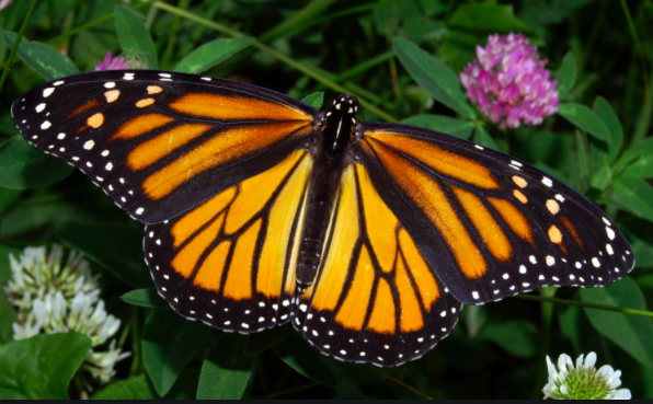 One Butterfly Thing: U. of IL Takes Lead Role in Nationwide Effort to Conserve Monarchs