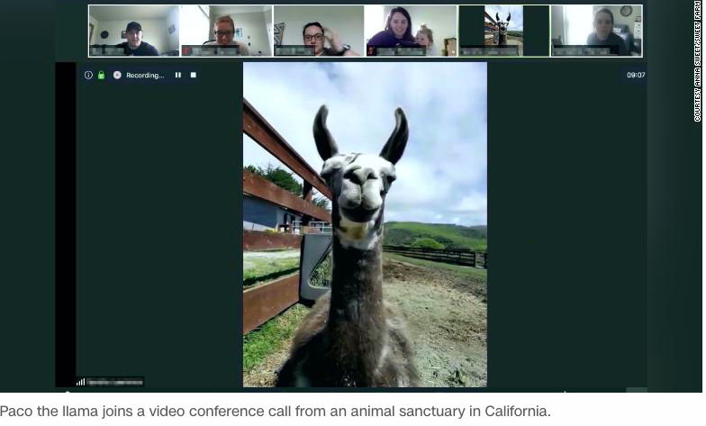One Fuzzy Thing: Have A Llama On Your Next Zoom Call