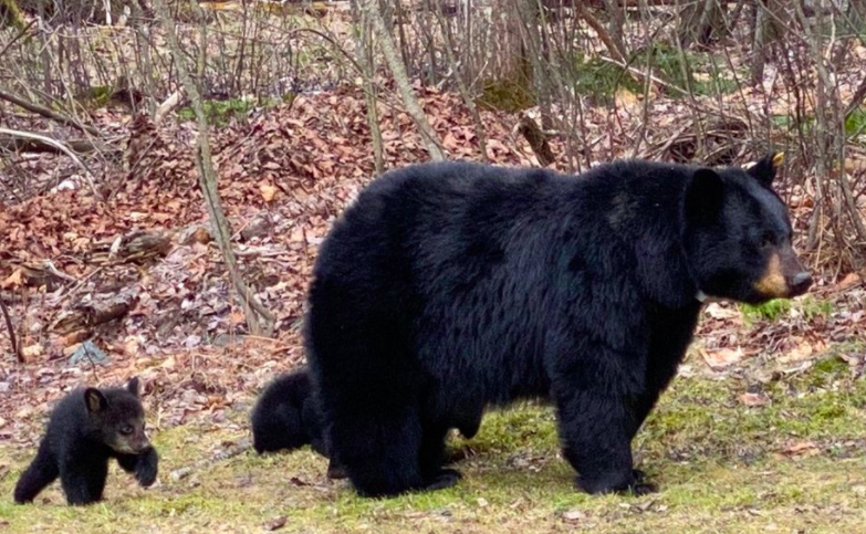 "One Bear Thing:  What We Can Learn From NH's Most Famous ""Mom"""