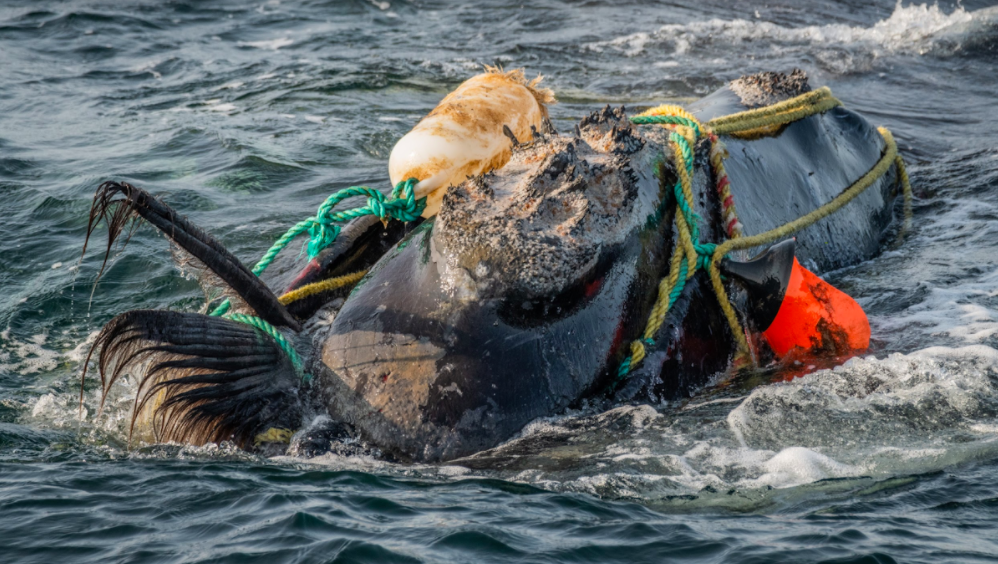 Failure is Not An Option – Time to Save the North Atlantic Right Whale