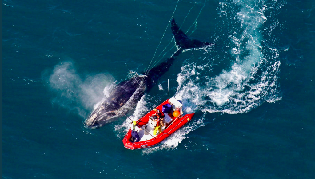 NOAA Delays Urgently Needed Right Whale Protections Again