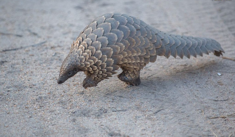 In A Strange Twist of Fate, Could Trump Help Save the Pangolin?