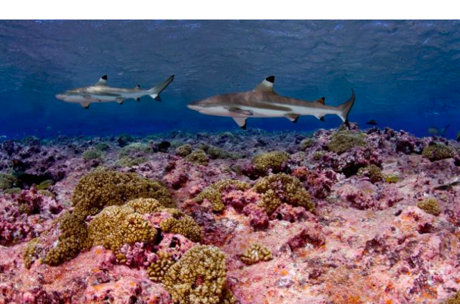 New Study Finds Reef Shark Populations Declining More Globally Than Previously Known