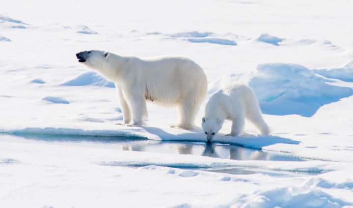 Climate Change and Arctic Drilling Threaten Polar Bears' Extinction
