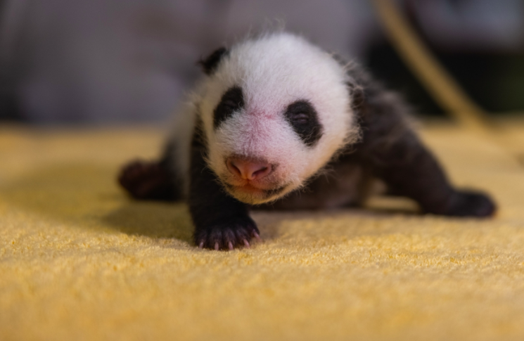 One Giant Panda Baby Thing:  It's a Boy!