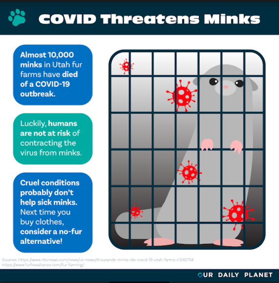 Mink Farm Die-Off Due to COVID
