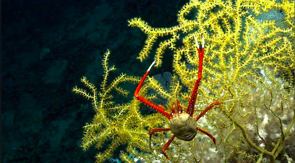 Deep-Sea Corals Gain Protection in the Gulf of Mexico