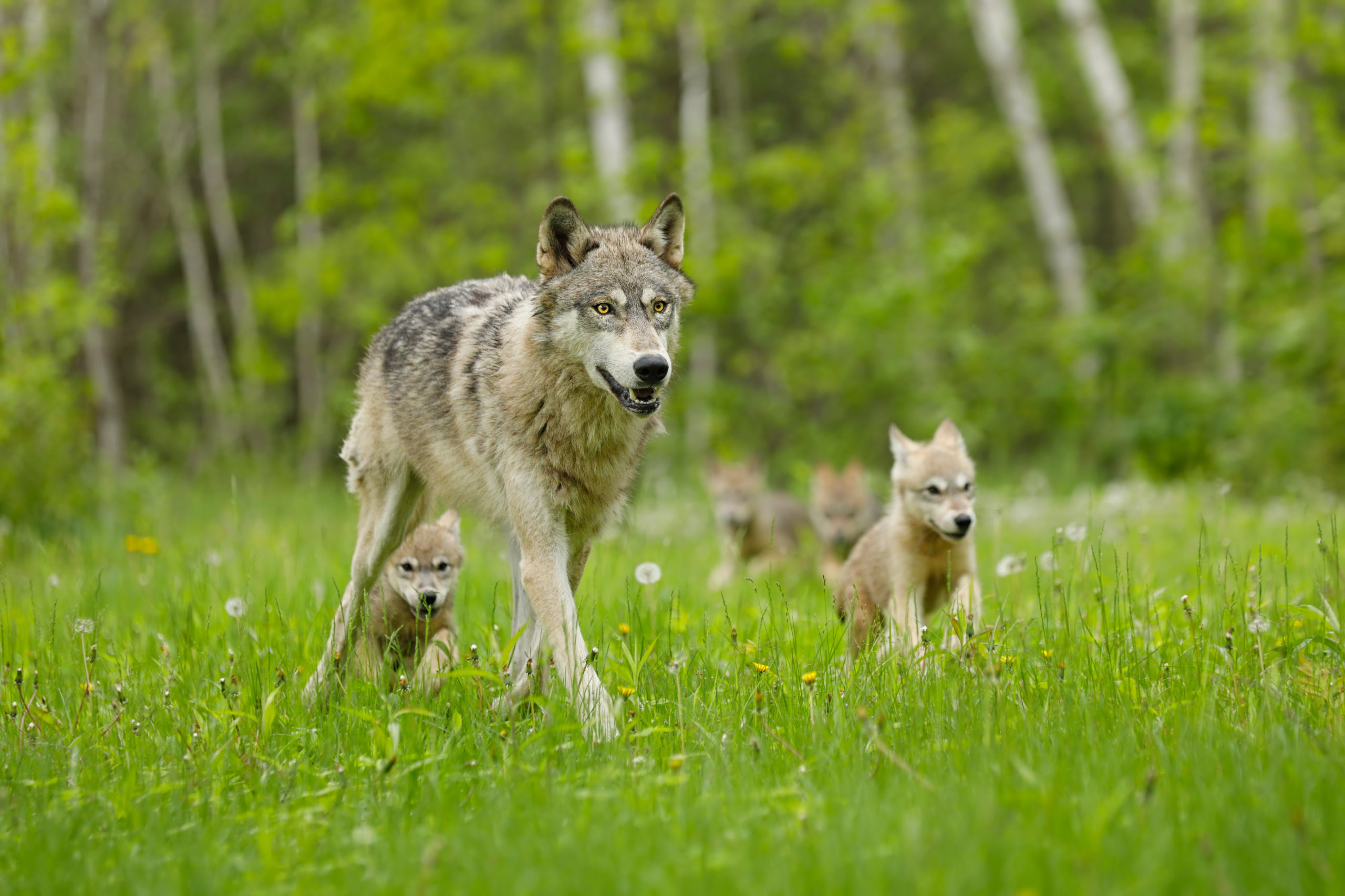End of Protections for Endangered Gray Wolves