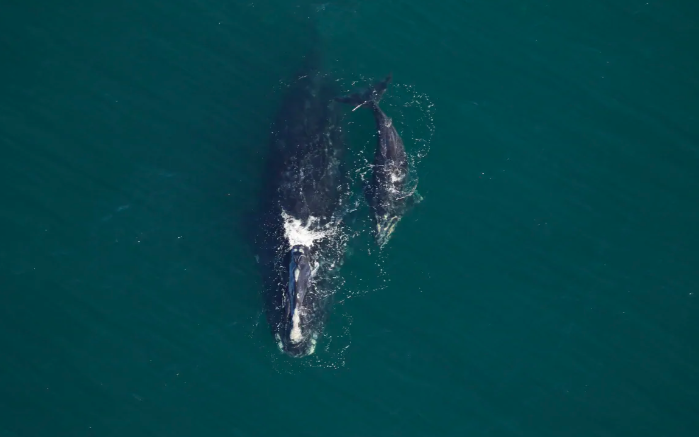 North Atlantic Right Whales Having Best Calving Season in Years