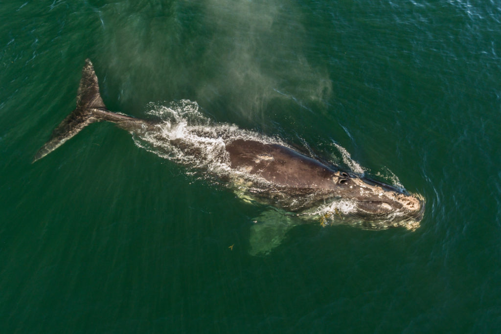 Renewing a Fundamental Commitment To Save America's Whale on World Whale Day