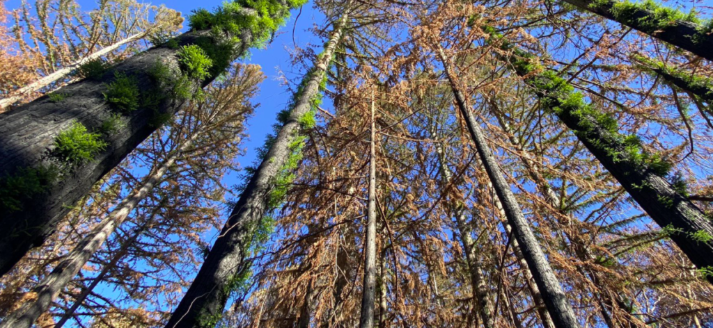 One Cool Thing: Redwoods In California Beginning To Come Back After Fire
