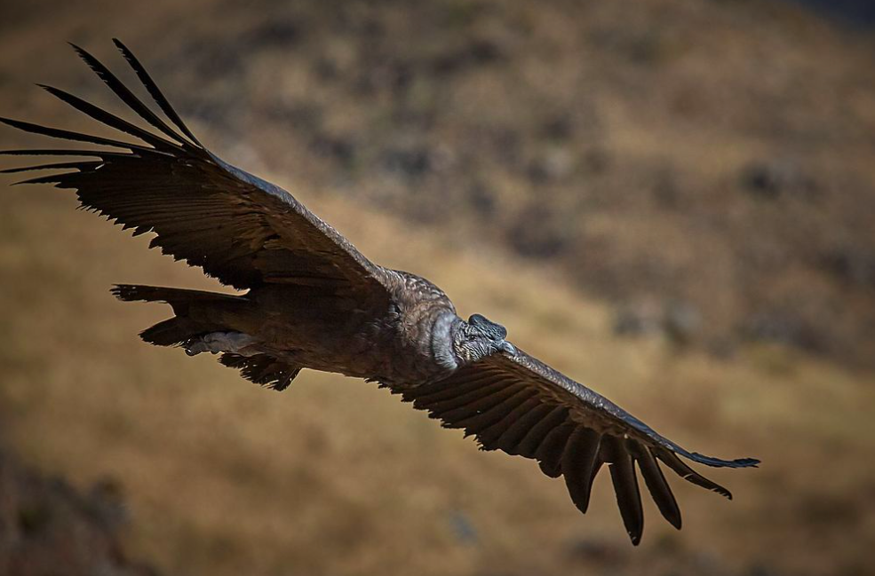 Bolivian Authorities Investigate Mass Poisoning of Endangered Condors