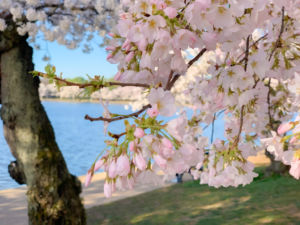 Cherry Blossoms Bloom Early Across The World