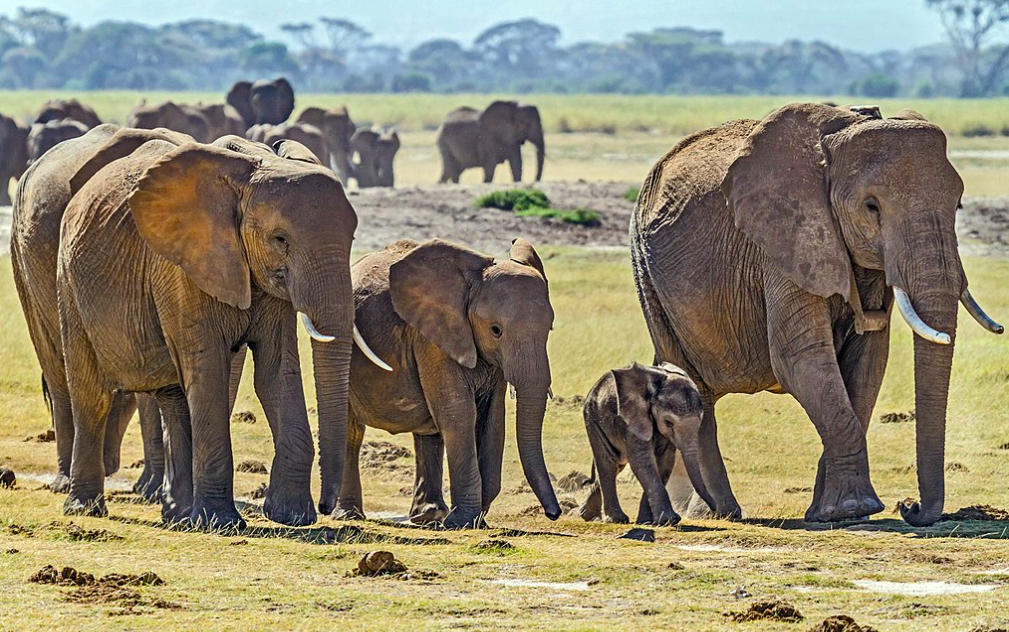 Now Designated Separately, Two African Elephant Species are Facing Extinction