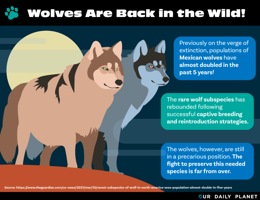 Mexican Grey Wolf Returns from Brink of Extinction