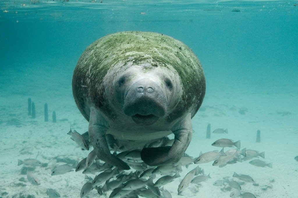 Florida's Manatees Are Dying in Record Numbers