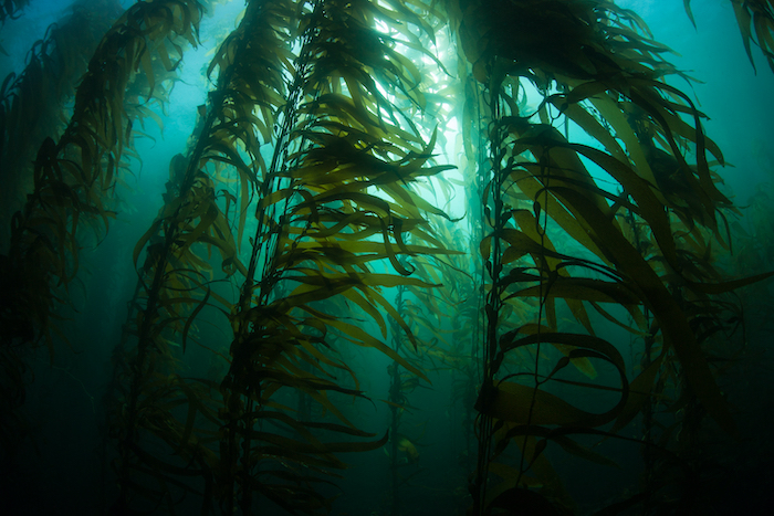 The Climate-Fighting Power of Kelp