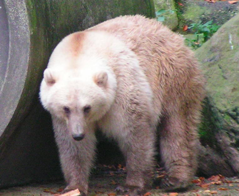 "Meet the ""Pizzly Bear,"" a Polar/Grizzly Hybrid Moving in Next Door"