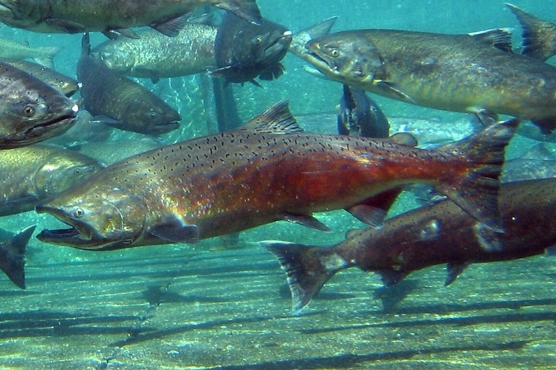 In the Midst of Another Drought, California Trucks Millions of Salmon to the Pacific Ocean