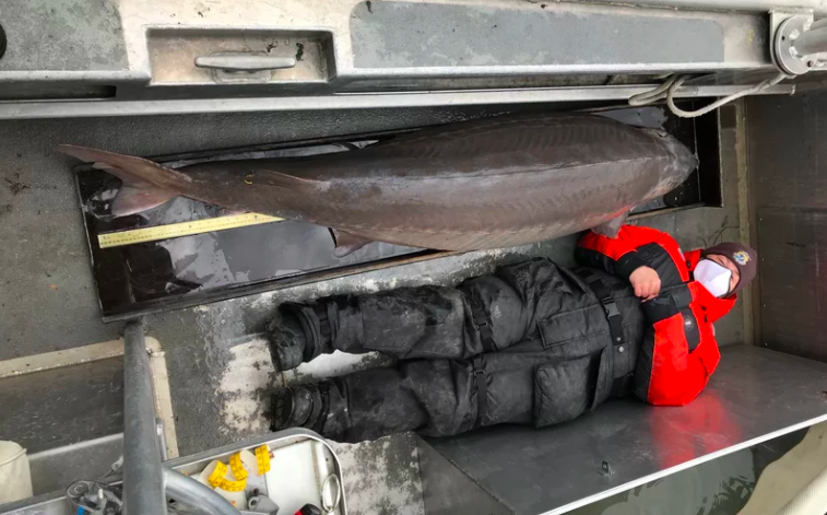 One Giant Fishy Thing:  A 100 Year Old Sturgeon in the Detroit River