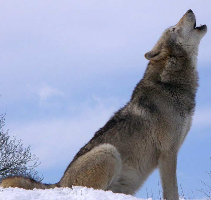 Idaho Governor Sign a Law Allowing Hunters To Kill 90% of the State's Wolves