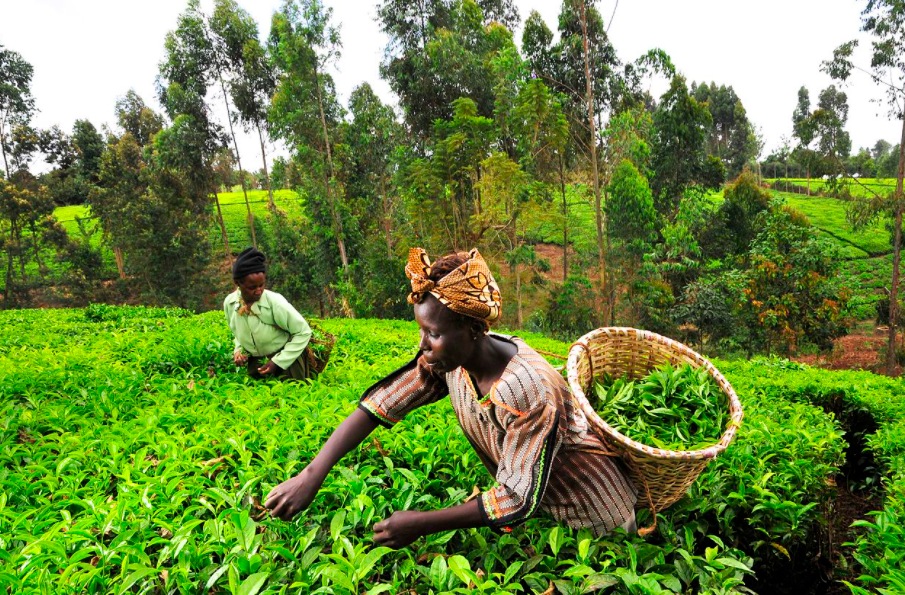 Oh No! Climate Change Threatens Global Tea Production